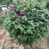 紫花三角梅球