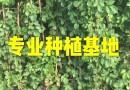 工程绿化爬山虎苗 藤本植物爬山虎批发  福建爬山虎价格爬山虎基地