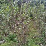 丛生贴梗海棠袋苗四川成都丛生铁脚海棠高度2米冠幅1.5米 袋苗