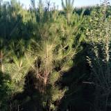 2米2.5米樟子松树价格 樟子松树苗多少钱一棵