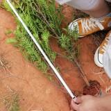 红豆杉小袋苗价格 红豆杉小苗基地批发