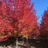 山东银红槭 银红槭基地批发  银红槭价格