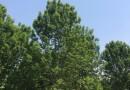 20公分白腊树价格 20-22-25公分精品白蜡报价