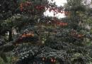 造型金弹子树桩批发 造型金弹子树价格