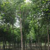 4米高玉铃花树价格 3米4米5米玉铃花树苗多少钱