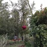 枫香基地批发价格 14公分枫香树多少钱一棵