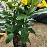 硬枝黄婵 高度25公分硬枝黄蝉花苗基地批发