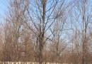 法桐 法国梧桐 1-5公分