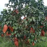 三红密柚子树 四川成都三红密柚子树批发基地