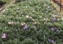 蓝花莉 芦莉草 高度15-20 大量批发