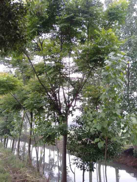 湖北栾树基地 胸径10至25公分栾树