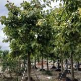 富贵榕苗价格 10-15公分富贵榕大树价格