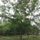 枫杨树价格 枫杨树十五公分批发价格