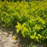 黄心梅价格 福建黄心梅苗种植基地批发