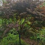 10公分红枫树苗批发价 6-7-8公分红枫树市场价格行情