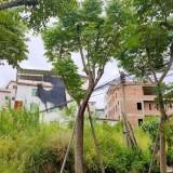 台湾栾树价格表 台湾栾树大苗种植基地直销