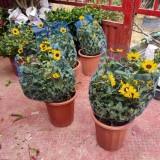 向日葵岁月光辉价格 批发 岁月光辉盆栽多少钱