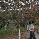 求购红叶碧桃苗 10-12-15公分红叶碧桃树苗价格表