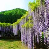 紫藤花树苗