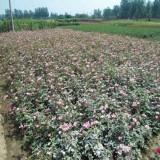 大花月季小苗价格 大花月季树苗批发基地