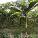 假槟榔价格 漳州假槟榔树 产地直销