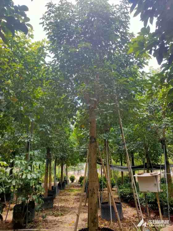 秋枫树多少钱一棵 5米高的秋枫树价格