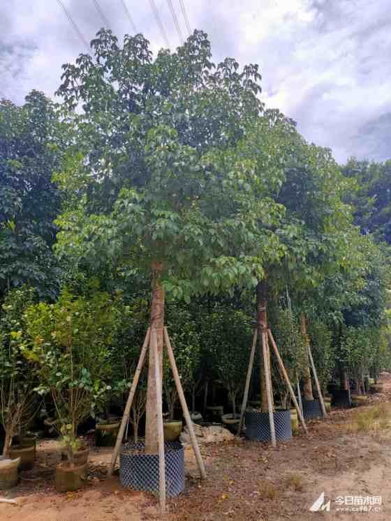 12公分香樟树价格 12公分香樟树价格多少钱一棵
