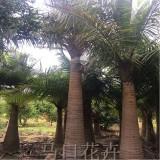 国王椰子树价格 2米3米4米5米6米国王椰子价格