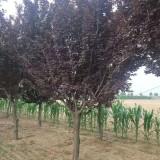 紫叶李多少钱一棵  紫叶李价格  紫叶李种植前景