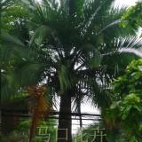 国王椰子苗价格 福建国王椰子小苗价格