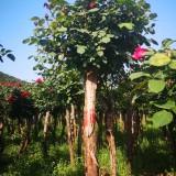 树状月季价格 树状月季基地批发