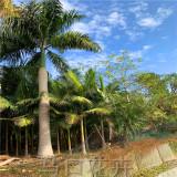 10米大王椰子树价格 福建大王椰子树基地