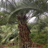 布迪椰子树苗多少钱一棵 漳州布迪椰子基地批发