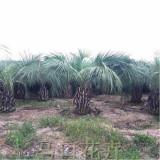 3.5米布迪椰子价格 厂家批发直销 布迪椰子报价行情