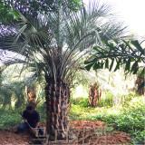 布迪椰子3米批发价格 布迪椰子种植基地