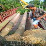 大王椰子4米批发价格 福建大王椰子报价