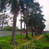 批发9米大王椰子树苗 行情 大王椰子树多少钱一颗
