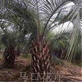 福建布迪椰子产地 4-4.5-5米布迪椰子树多少钱一棵