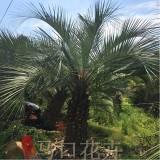 5米高布迪椰子价格 供应布迪椰子绿化树