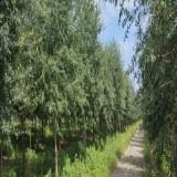 江苏弗吉尼亚栎基地  弗吉尼亚栎批发价格