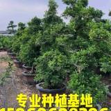 福建七里香盆景批发 造型七里香桩头价格 精品九里香古桩供应