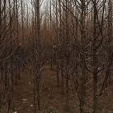 弗吉尼亚栎批发价格  弗吉尼亚栎种植前景
