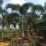 狐尾椰子5.5米批发价格 漳州狐尾椰子产地直供