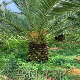 加拿利海枣2米批发价格 福建基地直销 价格优惠