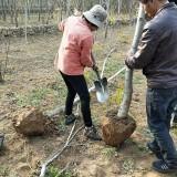 核桃树价格 2公分5公分6公分核桃树苗价格