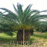 漳州漳浦加拿利海枣价格表 4-5-6米加拿利海枣树销售基地
