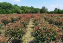 精品红叶石楠球 批发 1.5米红叶石楠球多少钱