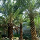 中东海枣批发 中东海枣供应价格 福建厂家