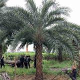 中东海枣产地 杆高3米中东海枣价格 产地批发报价表