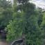 七里香苗木价格 漳州造型七里香盆景基地